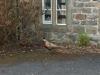 Bolton Abbey Pheasant