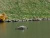 Edinburgh Dunsapie swan